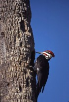 Pileated Woodpecker (photo by Karen Lawrence)