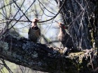 courting_flickers_cropped