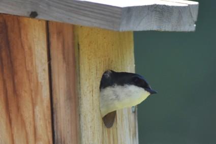 Tree Swallow in Jim's box Greenway 053117 (4)