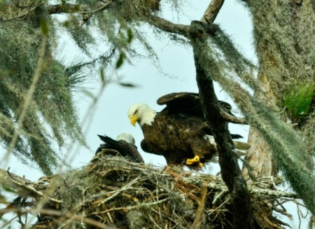 bald-eagles-on-nest