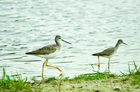 greater-and-lesser-yellowlegs