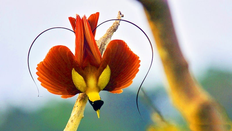 Red-Bird-of-Paradise-Birds-Indonesia | Welcome to the ...