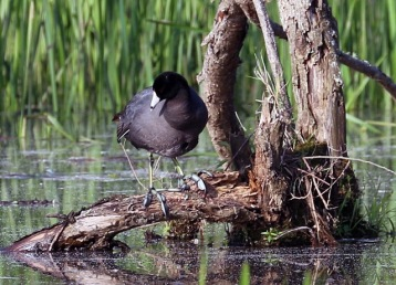 american coot looking down