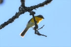 Optimized-Yellow breasted Chat Greenway 051717 (82)