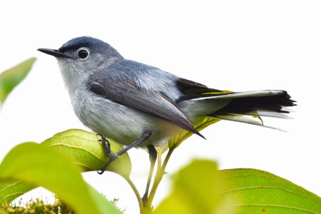 Blue-gray Gnatcatcher Greenway 061417 (14)