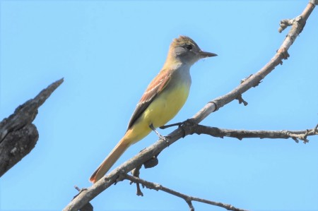 Great Crested Flycatcher Greenway 053117 (B1)