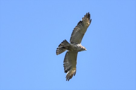 Red-shouldered Hawk Greenway 053117 (1)