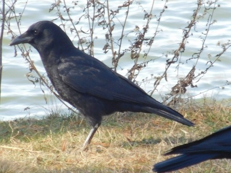 American Crow Junaluska 021017 (1)