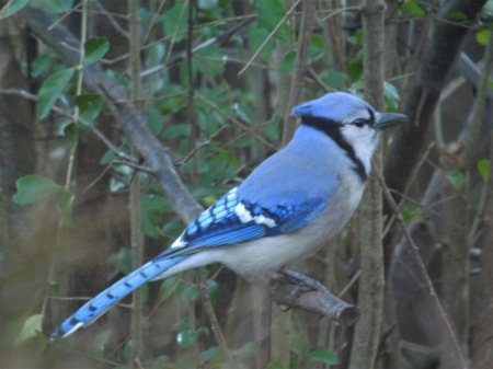 Blue Jay Lee St 022017 (1)