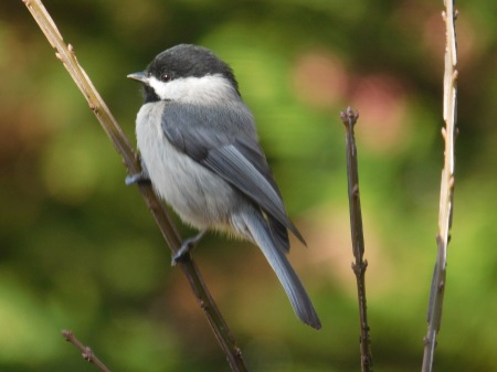 Carolina Chickadee Lee St 020117 (2)