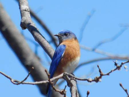Eastern Bluebird L Junaluska 031617 (1)