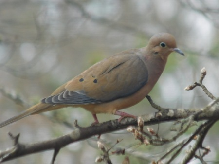 Mourning Dove Lee St 020717 (1)