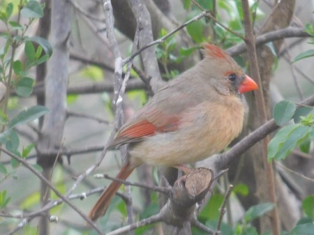 Northern Cardinal female Lee st 033117 (5)