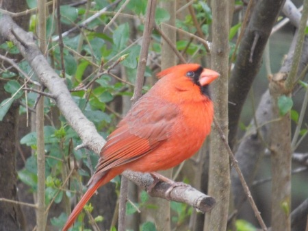 Northern Cardinal male Lee St 031117 (1)