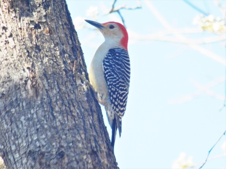 Red-bellied Woodpecker Lee St 030317