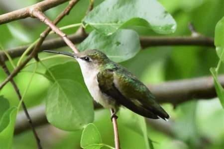 Ruby-throated Hummingbird, female, Lee st 062117