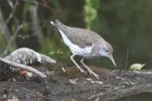 Spotted Sandpiper Greenway Black Bear 070517 (23)