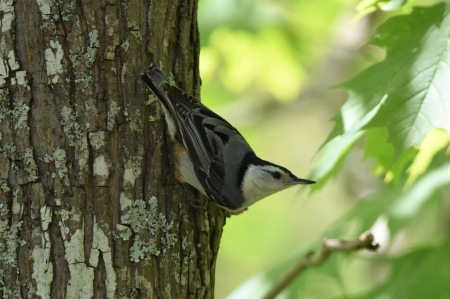 White breasted Nuthatch Shelton's 051617 (2)