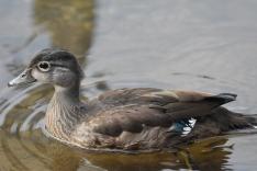 Wood Duck juv male Greenway Big Bear 072617 (1)