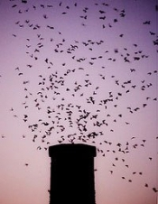 Chimney swift flock circling into roosting site, courtesy of Steve Benoit