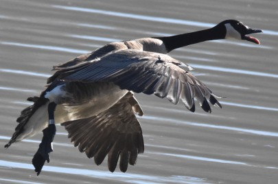 Canada Goose in flight Lake Junaluska 020918 (2)