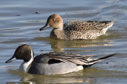 Northern Pintail-1