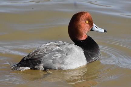 Redhead Lake Junaluska 020918 (1)