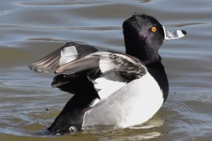 Ring-necked Duck Lake Junaluska 020918 (1)