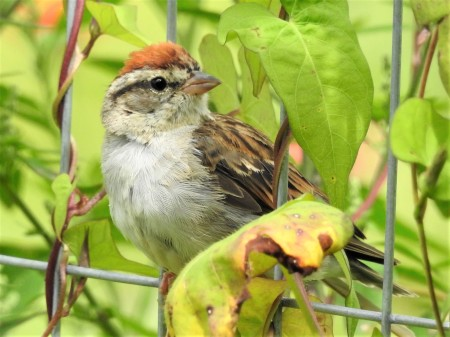 chipping sparrow - 090217