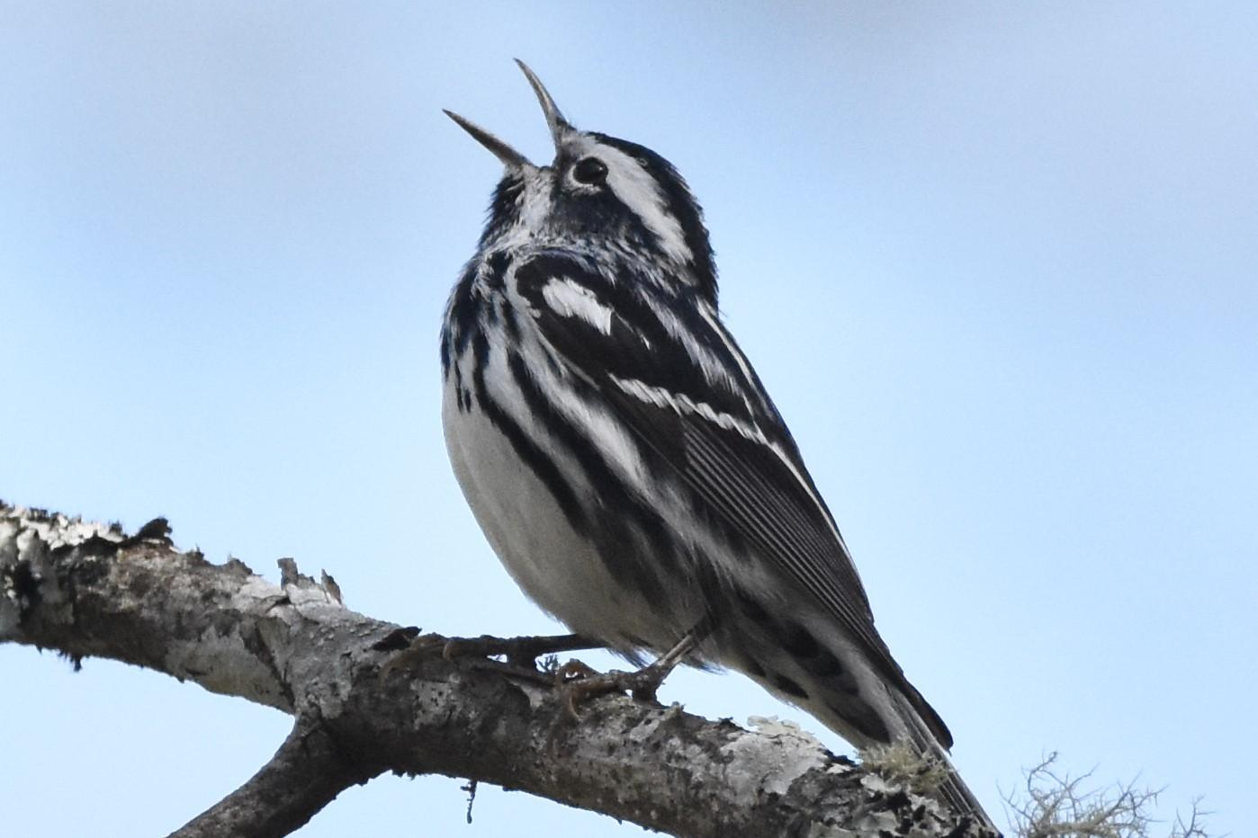 This image has an empty alt attribute; its file name is black-and-white-warbler-1.jpeg