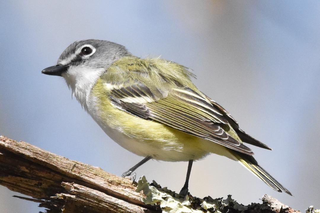 This image has an empty alt attribute; its file name is blue-heaed-vireo.jpeg